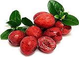 "Natal Plum Tree - Carissa horizontalis - 4"" Pot"