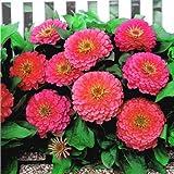 Zinnia Dreamland Pink F1 Seeds - Flower Seeds Package - 250 Seeds