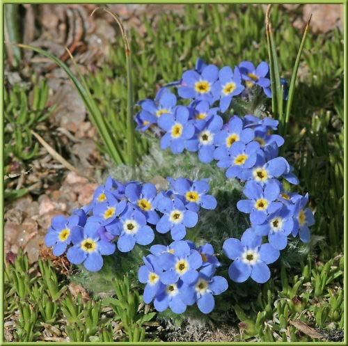 Alpine Forget-Me-Not Seed Hardy Perennial Accepts Frost
