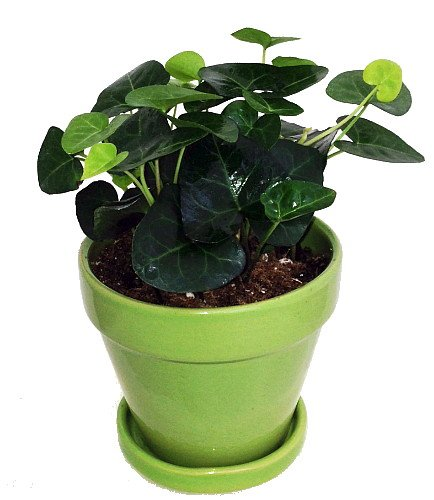 Ivy Saucer - Sweetheart English Ivy - Hedera - 4