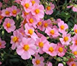 Rock Rose Common MUTABILE Mix Helianthemum Nummularium 999+ Bulk Seeds uKE -304