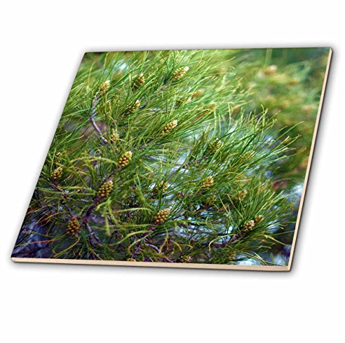 3dRose Jos Fauxtographee- Pine Tree - A Pine tree shot up close in the forest - 4 Inch Ceramic Tile (ct_273441_1) Tree Tile