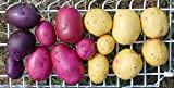 Seed Potato Mix, 5 lbs. Certified Seed Non GMO Red Lasoda, Golden Yukons and Blue