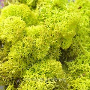 Reindeer Miniature - Miniature Fairy Garden Reindeer Moss