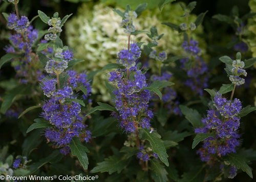 Proven Winners - Caryopteris X cland. Beyond Midnight (Bluebeard) Shrub, , #2 - Size Container by Green Promise Farms (Image #3)