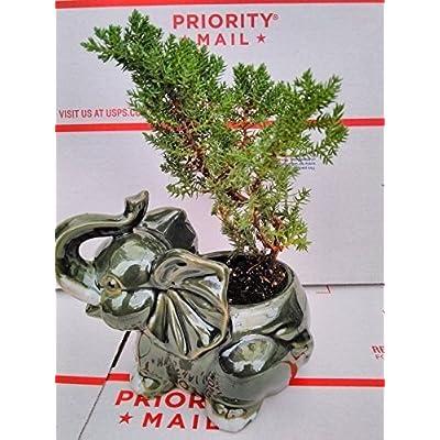 Japanese Juniper Bonsai Tree Fluffy Elephant Indoor/outdoor 4.5 Vase Pot Plant: Garden & Outdoor