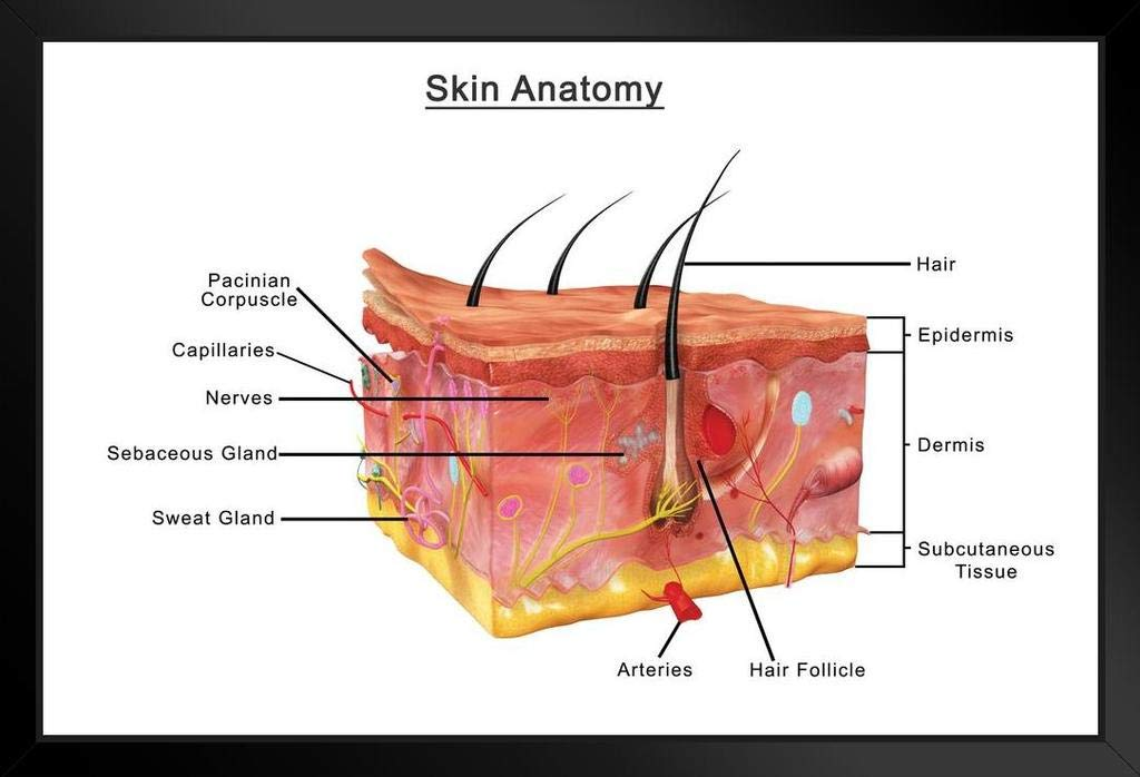Amazon Human Skin Anatomy Cross Section Diagram Chart Poster