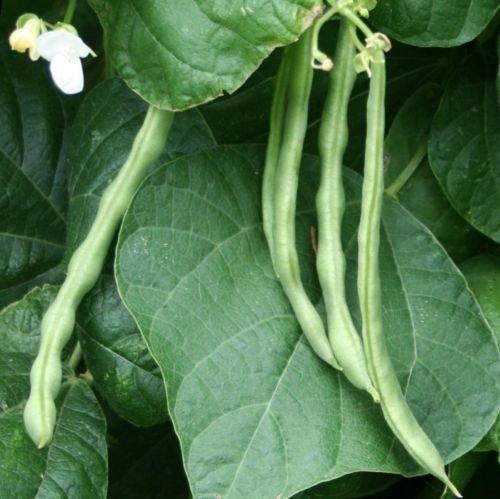 Kentucky Wonder Greenpod Bush Bean Seed - Commodore Beans Seeds (½oz) (Kentucky Wonder Bush Beans)