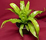 "Asplenium Antiquum Bird Nest Fern 4"" Pot"