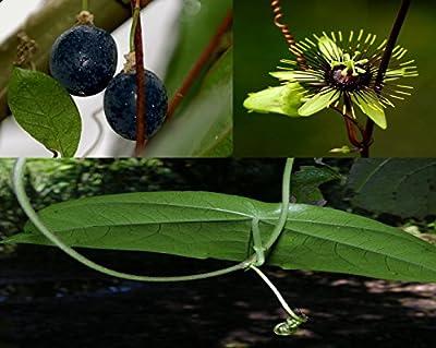 * Passiflora Coriacea * Collector's * Bat Wing * Rare Passion Flower * 5 Seeds *