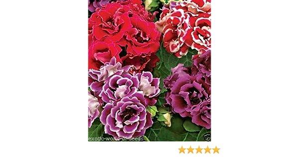 Gloxinia Hollywood Bulb x 2 Velvet Flowers