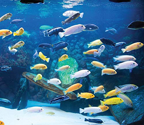 """Family of (25) African Cichlids 1.25"""" Live Tropical Fish Assorted Mbuna Cichlid from Living Artwork Fish Farms"""