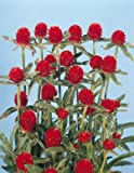 Gomphrena haageana Qis Red 500 seeds