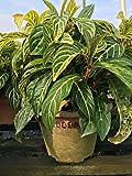Sanchezia speciosa Live Plant 7 Inches Tall