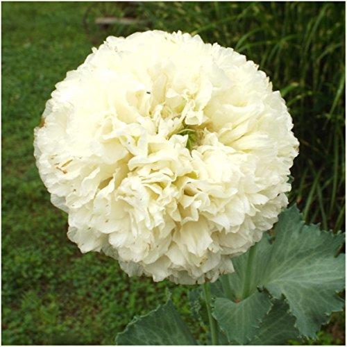 Poppy Cream (Package of 500 Seeds, Cream Peony Poppy (Papaver paeoniflorum) Non-GMO Seeds By Seed Needs)