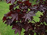 Acer platanoides Crimson King Maple 20 Fresh Seeds
