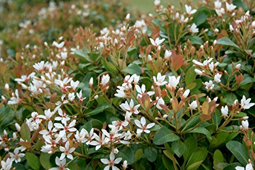 Indian Hawthorn Alba Qty 20 Live Plants Evergreen Shrub (Best Shrubs For Borders)