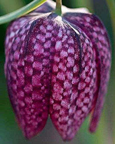 Fritillaria meleagris | Snakes Head Fritillary | Checkered Lily | 10_Seeds