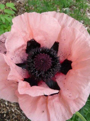 Amazon 100 princess victoria louise oriental poppy papaver 100 princess victoria louise oriental poppy papaver orientale flower seeds mightylinksfo