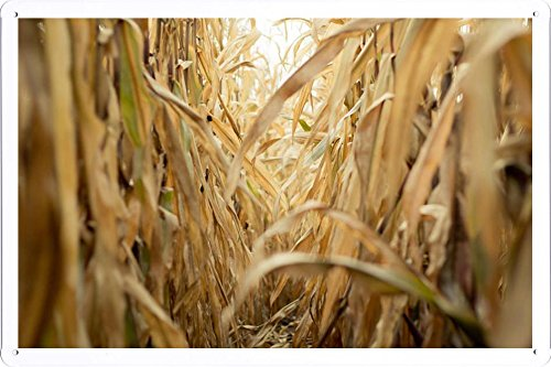 Tin Sign Poster Late Summer Corn Field (20x30cm) By Nature Scene Painting
