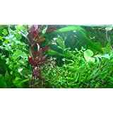 Aqua Plants EXCLUSIVE PRODUCT - 50 Live Aquarium Plants Collection Of Aquatic Plants For Your Fish Tank