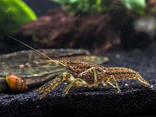 1 Self-Cloning Marmorkreb Crayfish/Freshwater Lobster (Reproduces without a mate!) – 1+ Inch Juvenile by Aquatic Arts