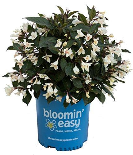 Weigela x Date Night Tuxedo (Weigela) Shrub, White Flowers/Dark Foliage, 3 - Size Container by Green Promise Farms