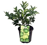 Persian Lime Tree - Fruit Bearing Size -8'' Pot-NO Ship to TX, FL, AZ, CA, LA, HI