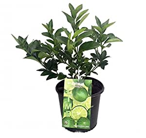 "Persian Lime Tree - Fruit Bearing Size/Branched - 8"" Pot - Indoors/Out"