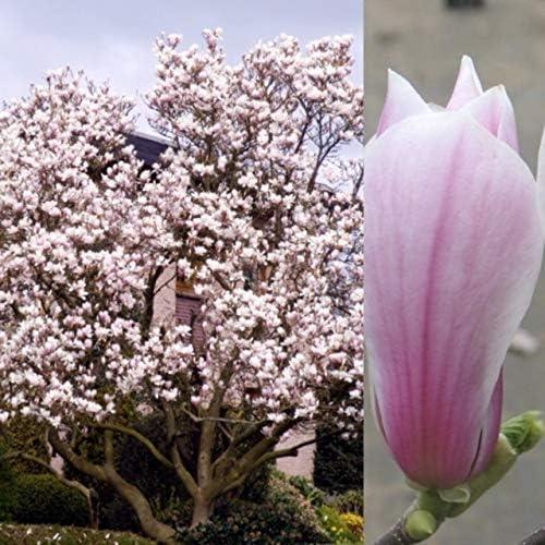 Magnolia x soulangeana-Magnolia  Plant in 9 cm pot