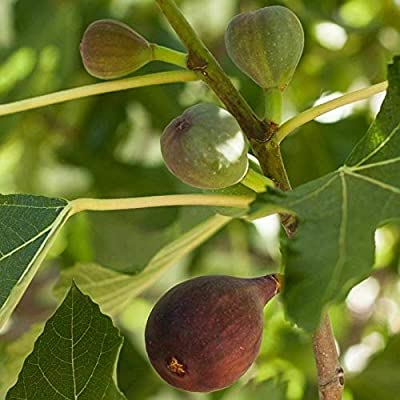 Fig - 'Black Mission' - Fruiting Fig Tree Live Plant FR04 : Garden & Outdoor
