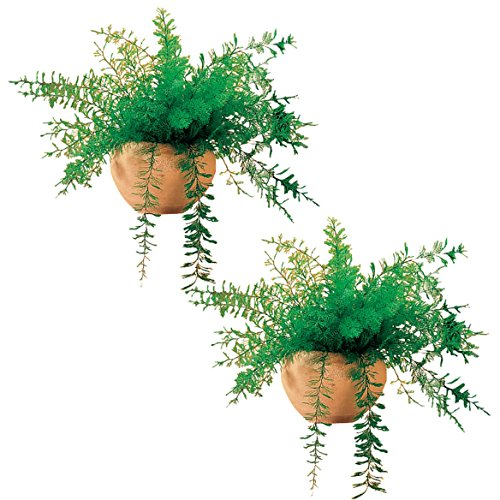 Mysterious Air Fern, Set of 2 - House Plant, No Water or Soil Required (Best Soil For Ferns)