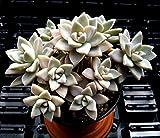 GRAPTOPETALUM PARAGUAYENSE 'MOTHER OF PEARL' - 2 1/4 INCH SUCCULENT PLANT
