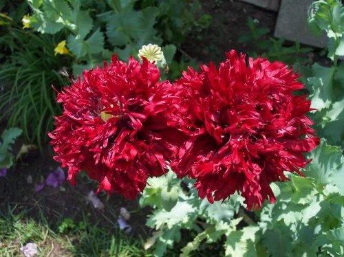 Amazon 100 giant double red peony poppy papaver peoniflorum amazon 100 giant double red peony poppy papaver peoniflorum flower seeds poppy plants garden outdoor mightylinksfo