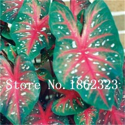 15 Piante Da Appartamento.Prime Vista 100 Pz Caladium Bonsai Caladium Bicolor Fiore Bonsai