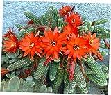 ZAA 1 Pcs Peanut Cactus Echinopsis chamaecereus Clump - RK39