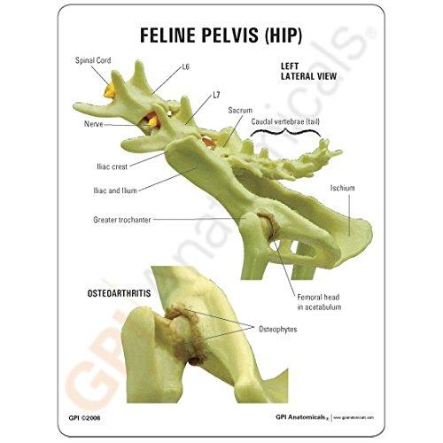 Feline Pelvis (Hip) Model