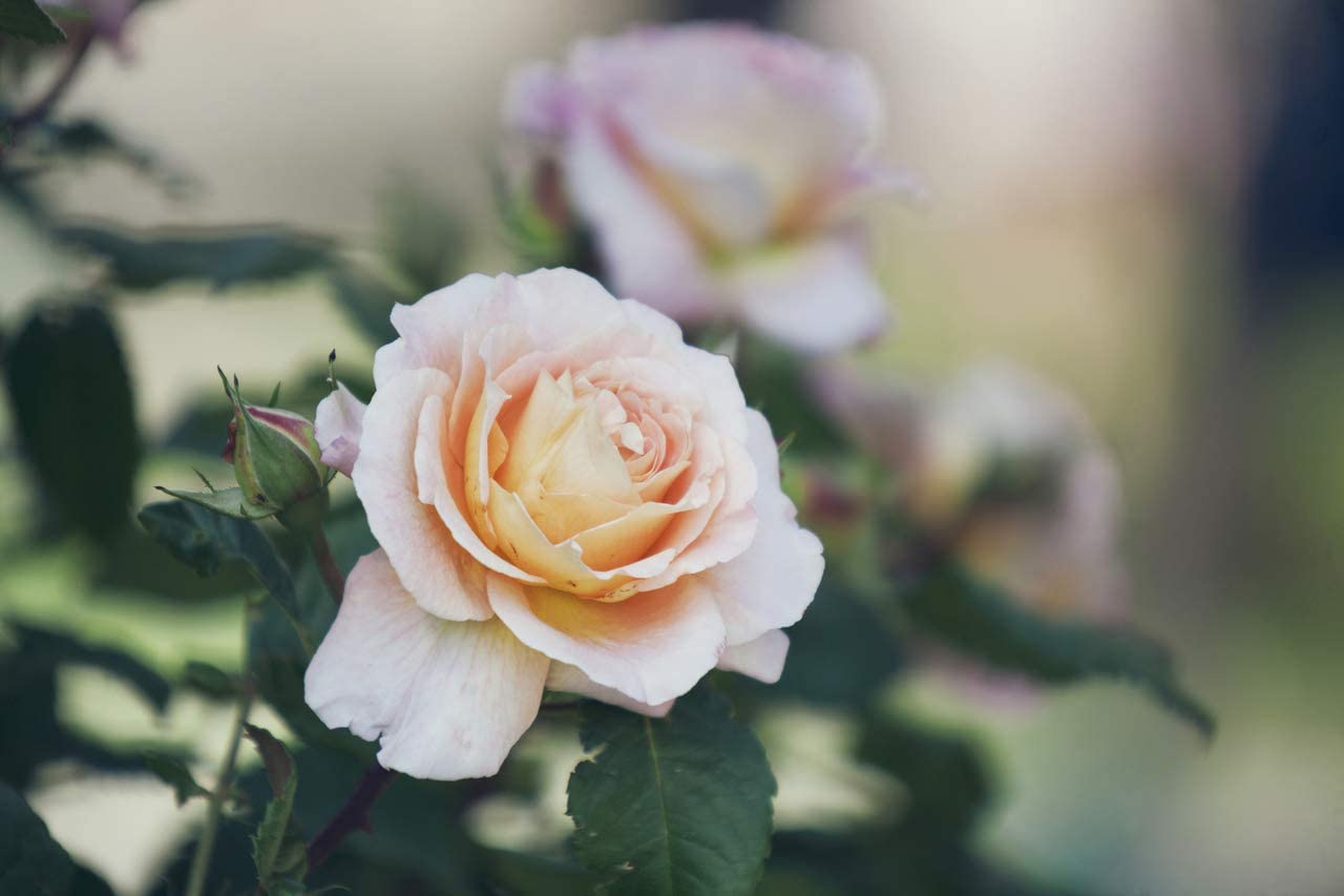 Rosa Chandos Beauty Hybrid Tea Rose Bush Excellent Fragrant Flowers 3fatpigs/®