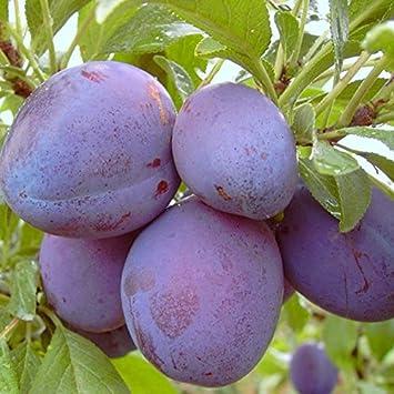 Oullins Reneklode St Pflaumenbaum gelbe Frucht 150-170 cm 10 L Topf Julien A