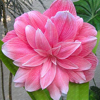 Big True Amaryllis Bulbs Indoor&Outdoor Potted Flowers plants,flower bulbs Survival Rate is High (not seeds) -1 bulbs 12 (Flowers Plants Amaryllis And)