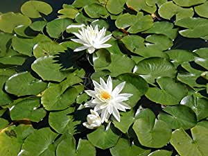 Green Vista Live Hardy Pond Lilies Plants (3 pack)- white- shipped Bare Root!