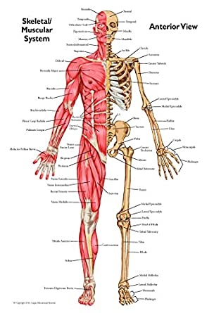 Anatomical Chart Set Of Muscular Skeletal Anterior And