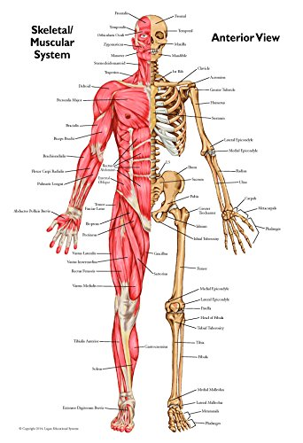 Muscular System Chart (Muscular Skeletal Anatomical Chart Set with Anterior and Posterior Views)