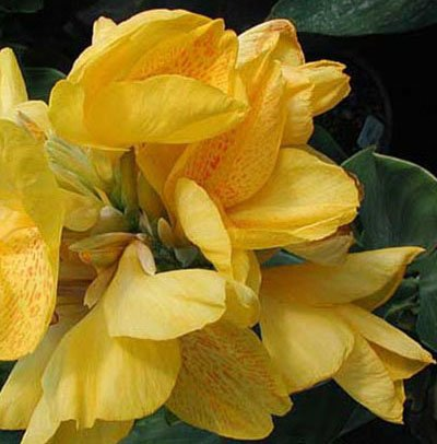 (Yellow Futurity Flowering Dwarf Canna Lily Root/bulb/rhizome/plant Nice Size)