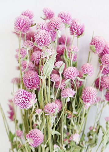 Dried Wildflower - Natural Dried Pink Globe Amaranth Dried Flowers - 21