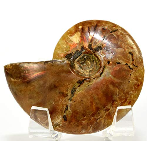 - HQRP-Crystal 55mm Fire Red Flash Ammonite Natural Whole Iridescent Rainbow Ammolite Opalized Fossil Mineral Polished Spiral Stone Shells - Madagascar + Acrylic Display Stand