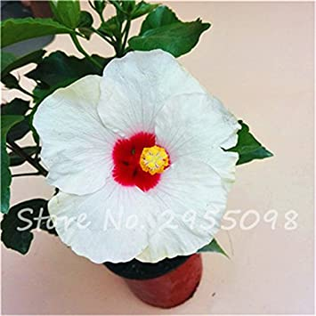 Rooms Ornamental Plant Mini Bonsai Hibiscus Seeds Rare Potted