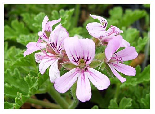 - Citronella - Mosquito Plant - Geranium - 3.5