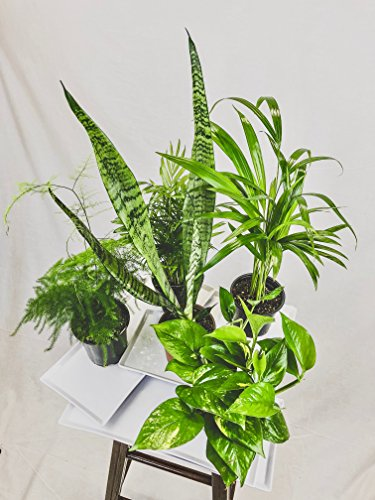 Collection of Five Fantastic Clean Air Plants for Your Home or Office - Beautiful - Florist Quality - Golden Pothos - Parlor Palm - Areca Palm - Asparagus Plumosus - Snake Plant by Florida Foliage (Image #2)