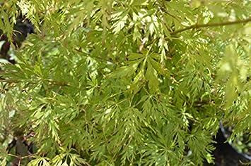 Acer Palmatum Seiryu 19cm Pot Size Amazoncouk Garden Outdoors